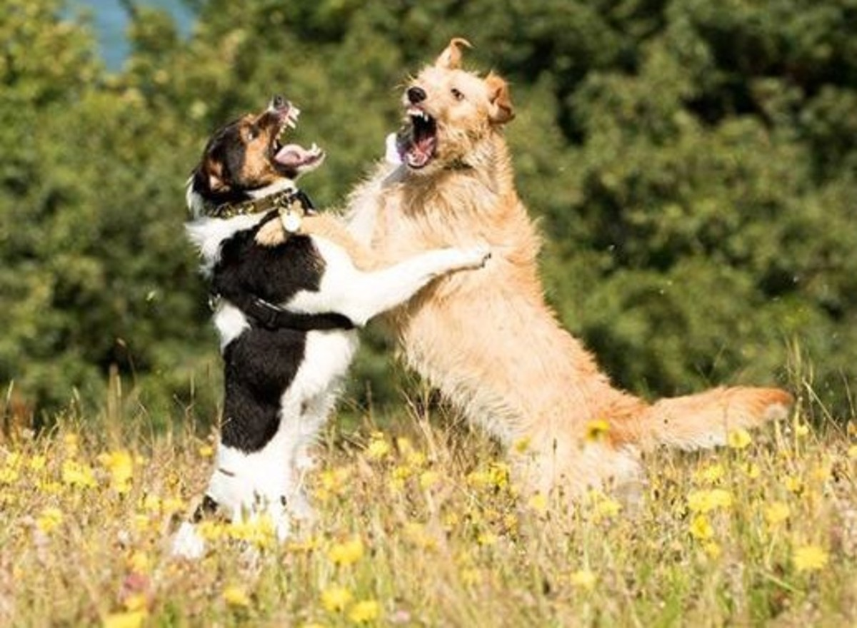 Sometimes play can look aggressive, but in this case its perfectly harmless. These dogs are practicing fighting techniques through their play.
