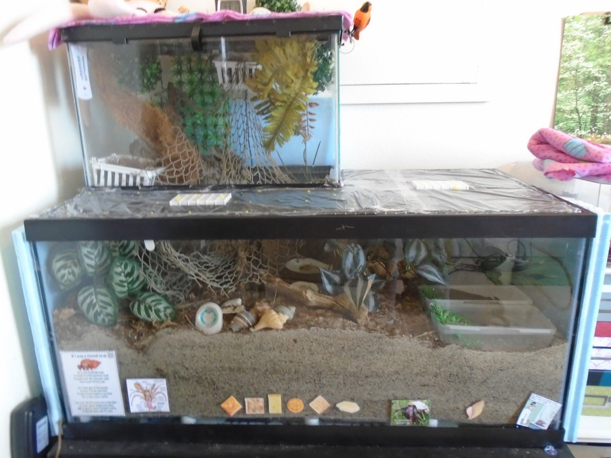 This 40 gallon aquarium (with an additional climbing area) is sufficient for four hermit crabs.