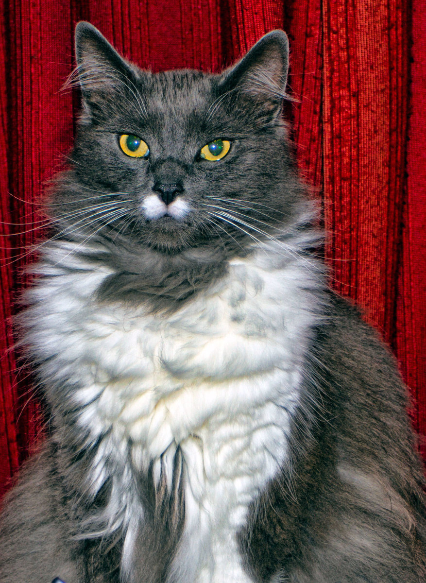 Greebo, our Gentle Giant Maine Coon cat who weighs 17 lbs.