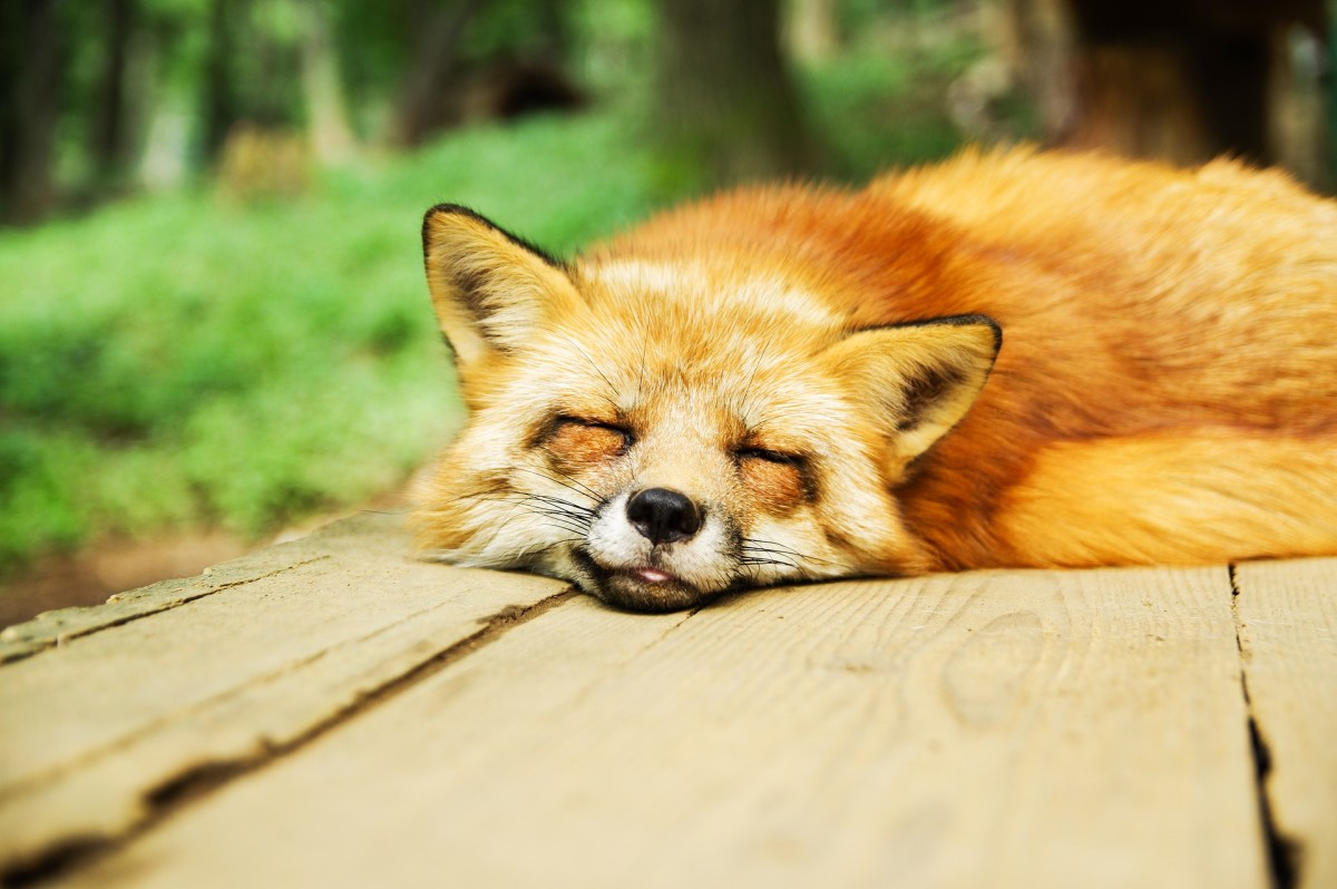 Though they may be amazingly cute, owning a pet fox can function similar to a full-time job and should not be taken lightly.