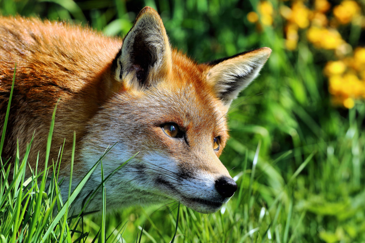 Everything You Need to Know About Pet Foxes