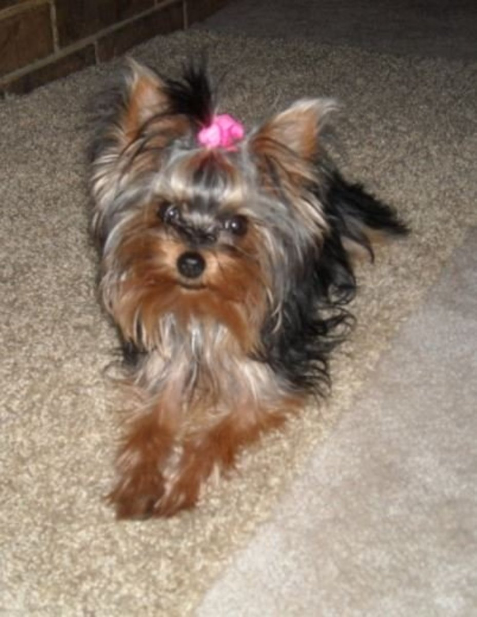 Regular-sized Yorkies are not only cute but healthier!