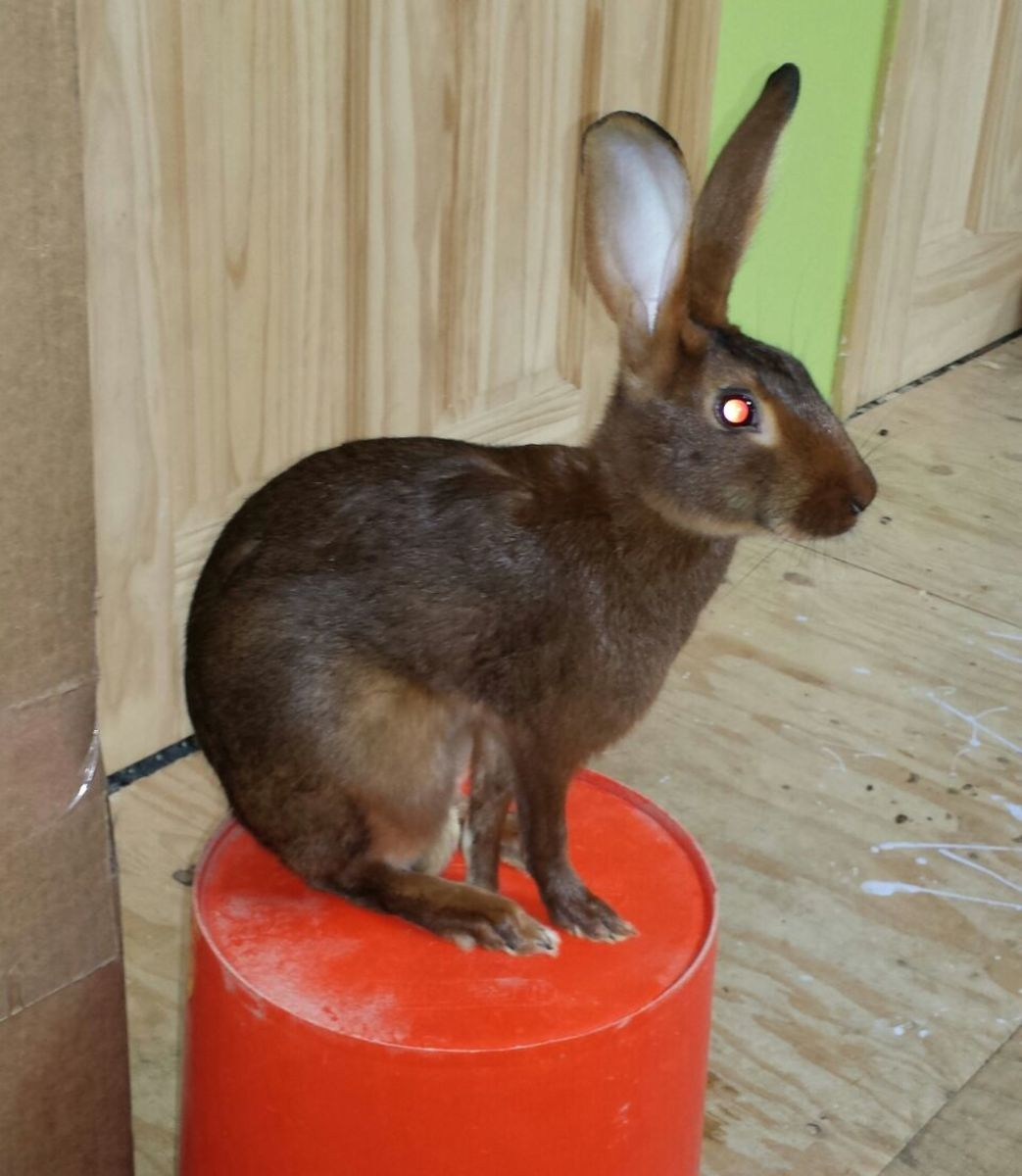 belgian-hares-the-race-horse-of-rabbits