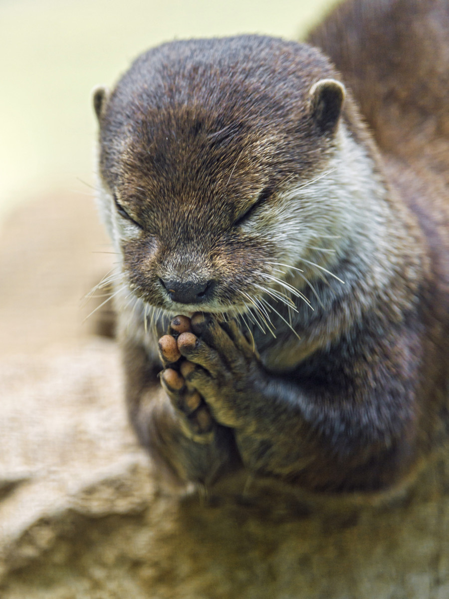 Otters are also very spiritual