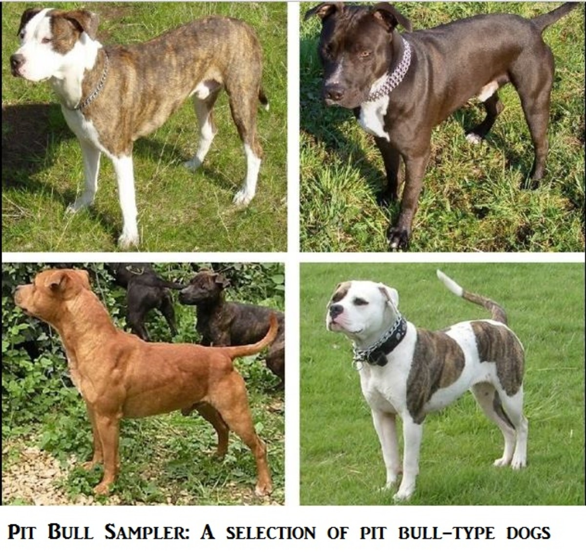 Facts About Blue Nose and Red Nose Pit Bulls | PetHelpful