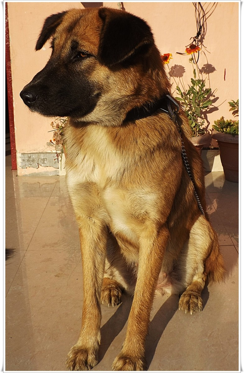 Perci is now 1 year old. Here her legs are muddy after a morning walk in the hilly meadows of Koteshwar.