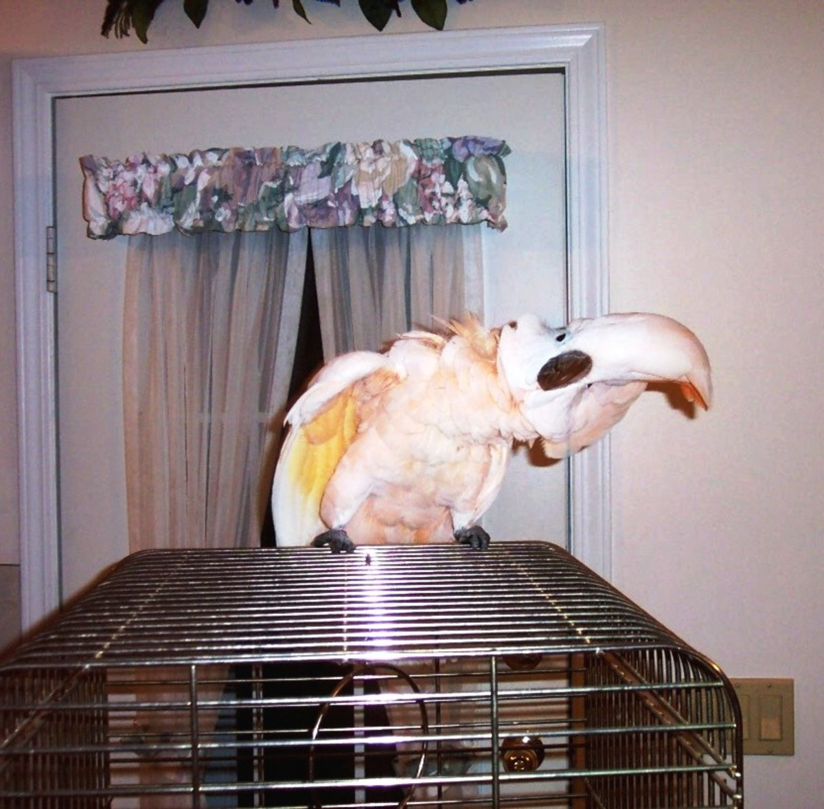 Cockatoos can learn a few words or even some short sentences.