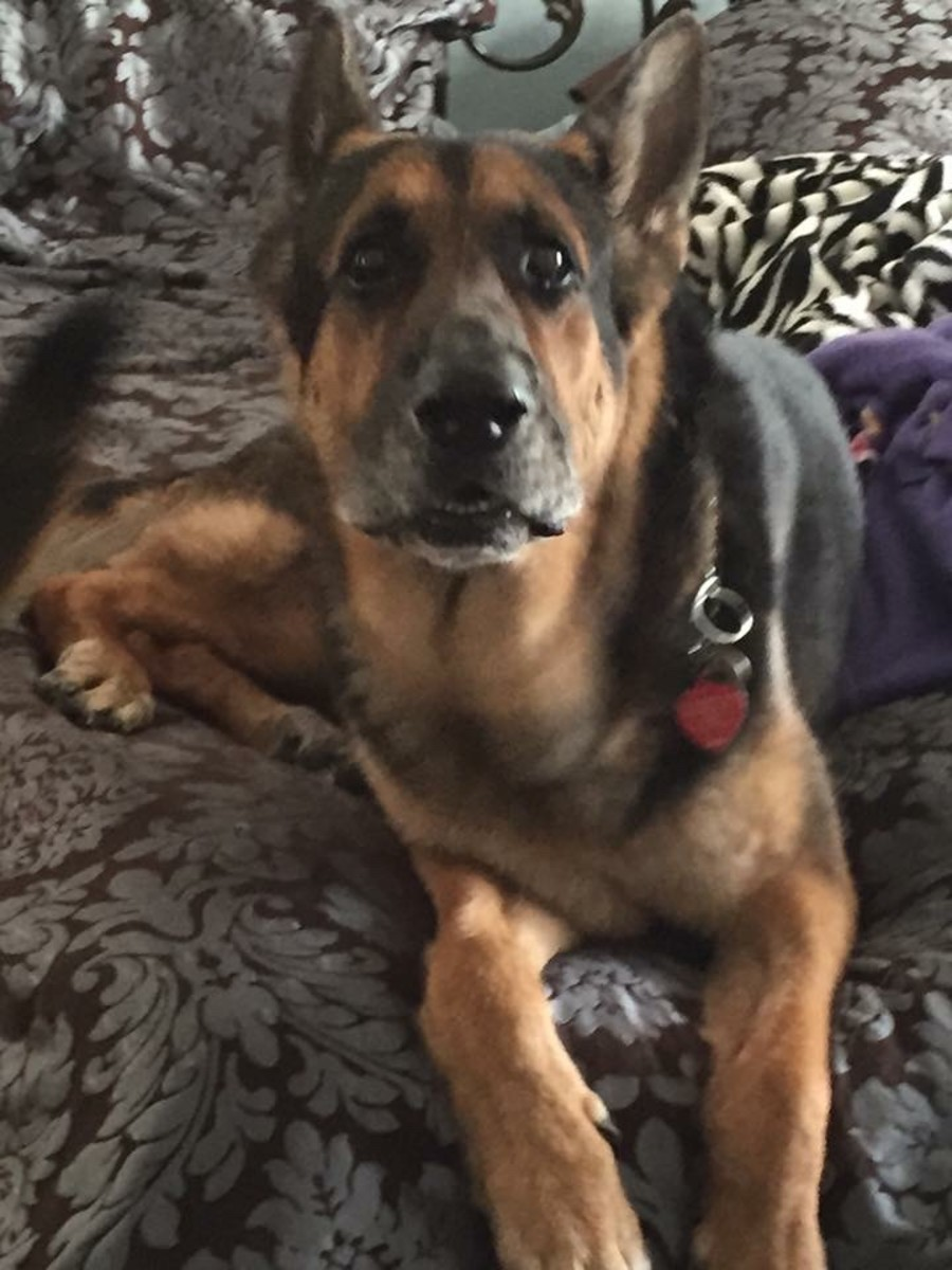 Article Dedicated to Konig: A forever reminder of what adoption can do in the life of a deserving dog.