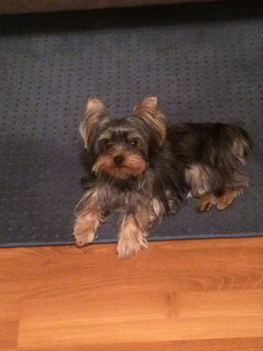 Being hypoallergenic makes the Yorkie an attractive pet to have!
