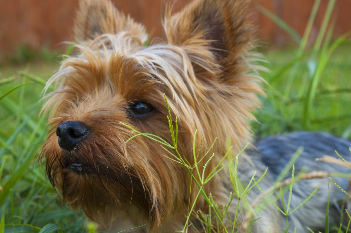The tiny size of the Yorkie is an advantage and a great reason they make a great pet.