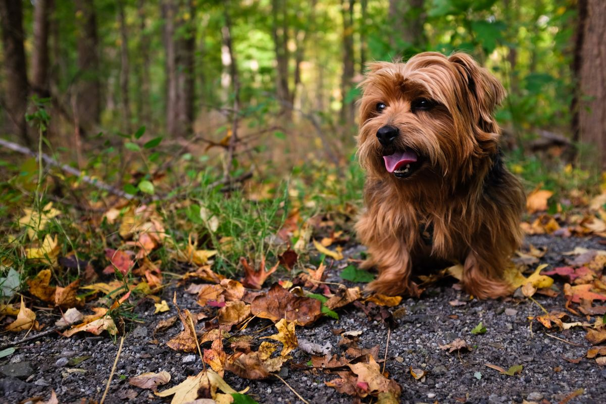 Their intelligence makes the Yorkshire Terrier an ideal pet.