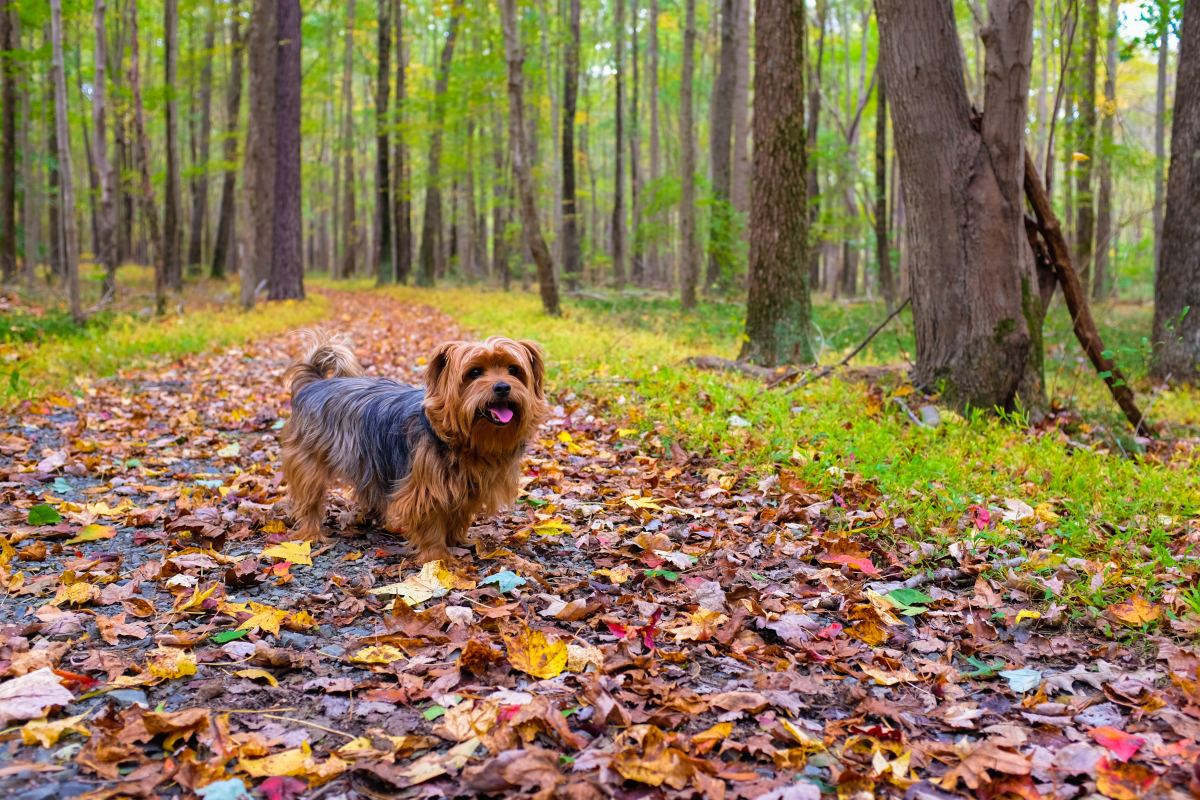 The Yorkshire Terrier does not need as much exercise as bigger dog breeds.  This can make them an attractive pet for busy owners!