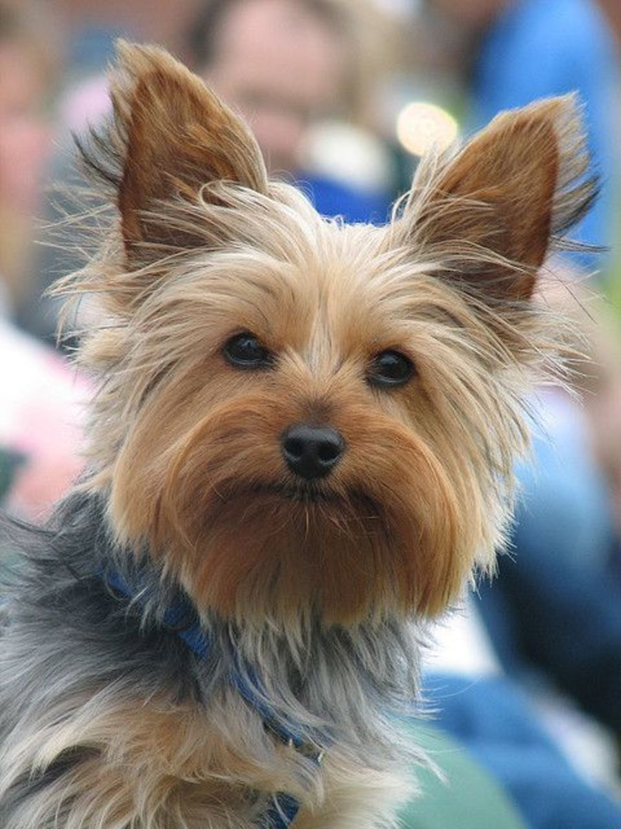 Yorkies will make for a great watch dog. They are very loyal pets to their owners.