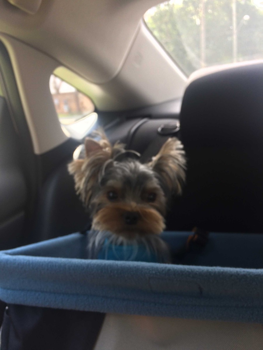 Adaptability is a key reason that Yorkies make such a great pet.
