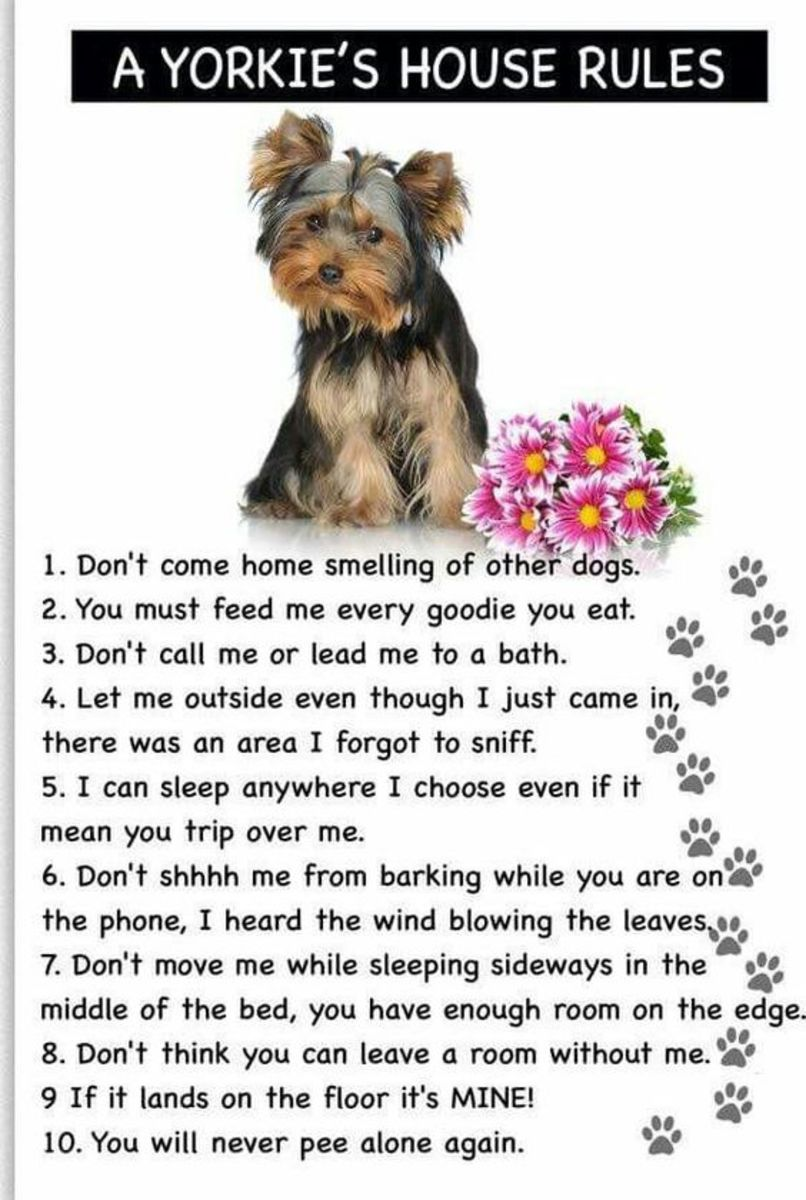 Life with a Yorkie!