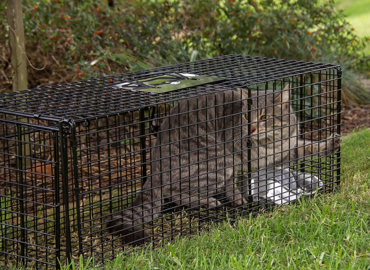 These traps catch the animal without harming them.  Be sure to check often so the animal doesn't fall prey to other animals in the area.