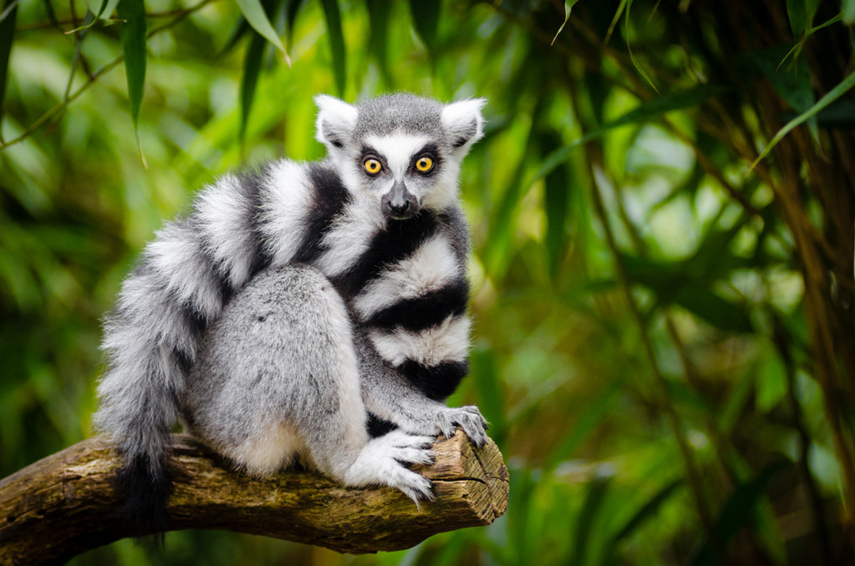 Ring-tailed lemurs are an endangered species.