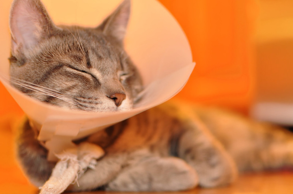 A typical cone collar on a cat