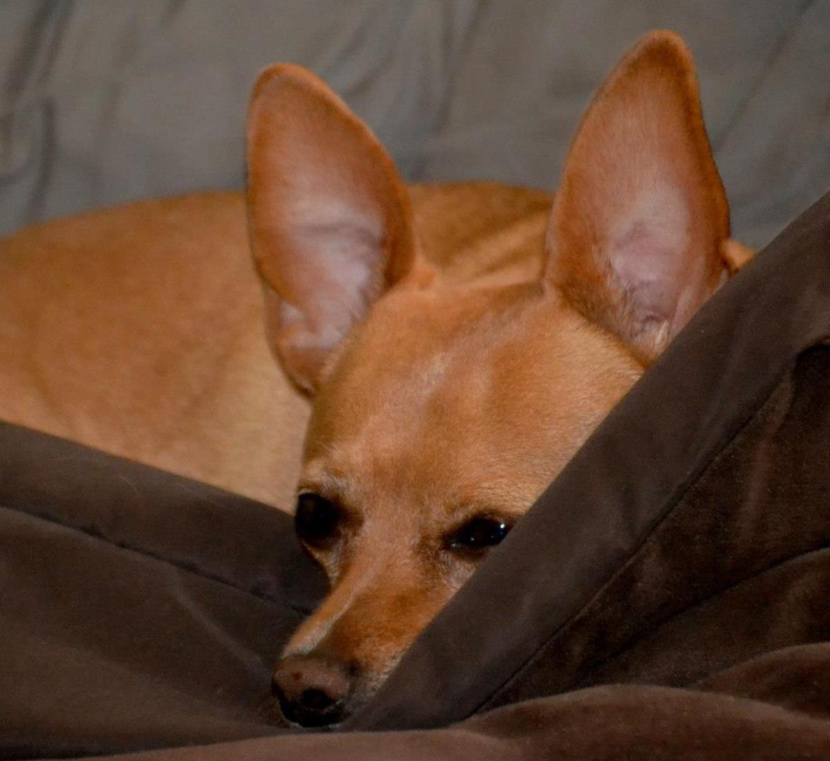 Chewy liked to burrow beneath the covers.