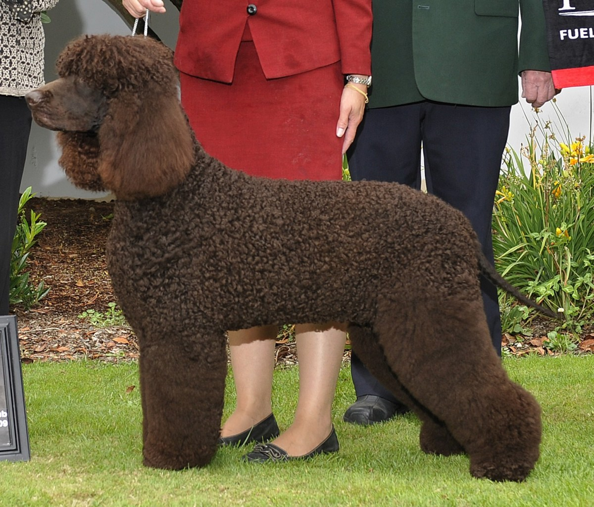 The rare Irish Water Spaniel is also known as the Shannon Spaniel, and is one of the largest and oldest of the spaniel breeds.