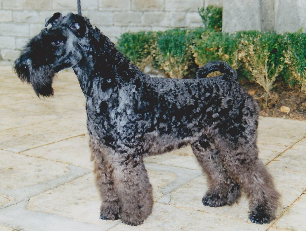 The Kerry Blue Terrier is an all around farm dog, performing herding, livestock protection and guard dog duties.