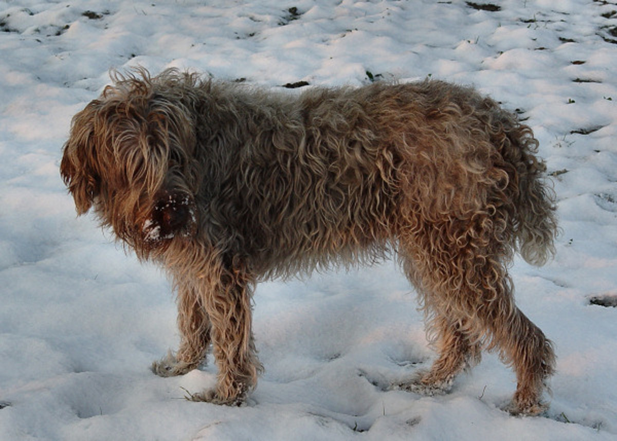 Wirehaired pointing griffon - Sarah