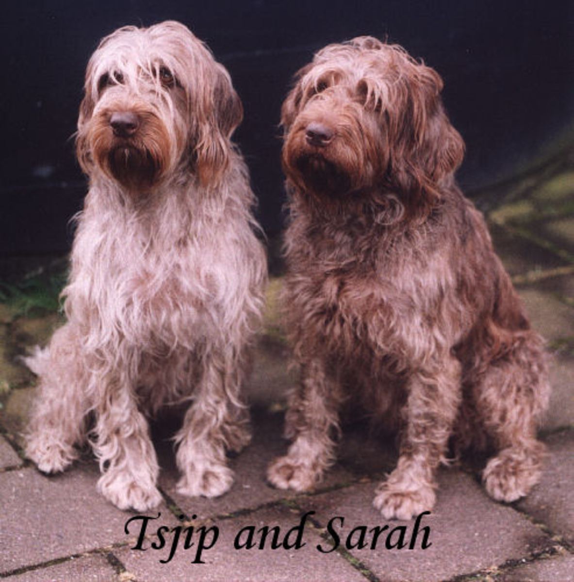 Wirehaired pointing griffons (Griffon Korthals)