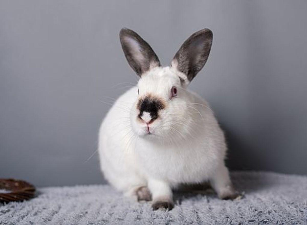 Himalayan Rabbit