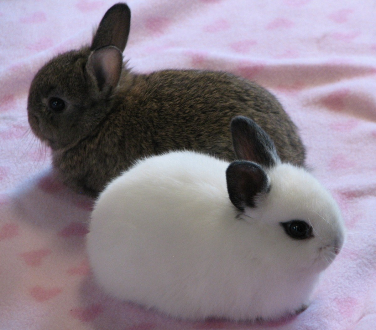 Small Toy Rabbits : Of the best pet rabbit breeds pethelpful