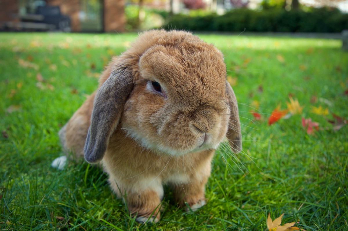 15 Of The Best Pet Rabbit Breeds Pethelpful By Fellow Animal Lovers And Experts
