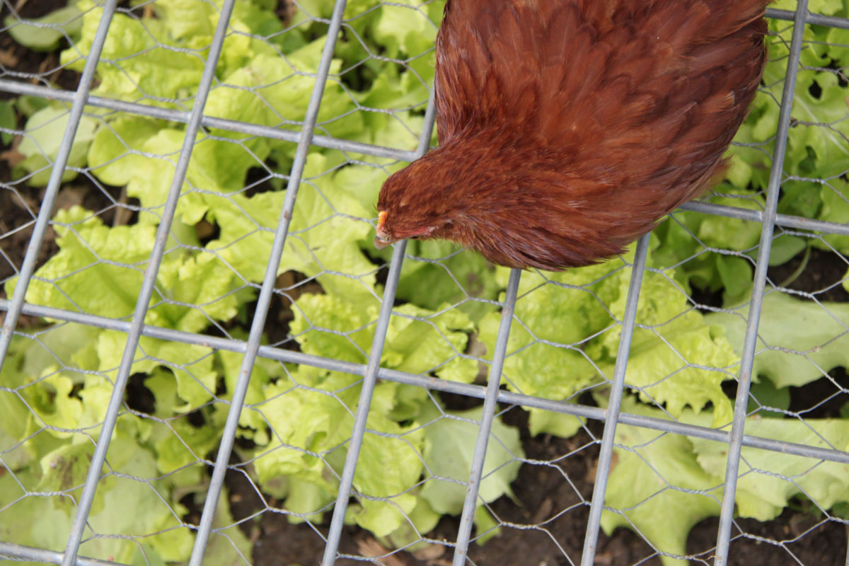 A covered chicken garden with greens they can browse on is one way to mitigate boredom in a flock.
