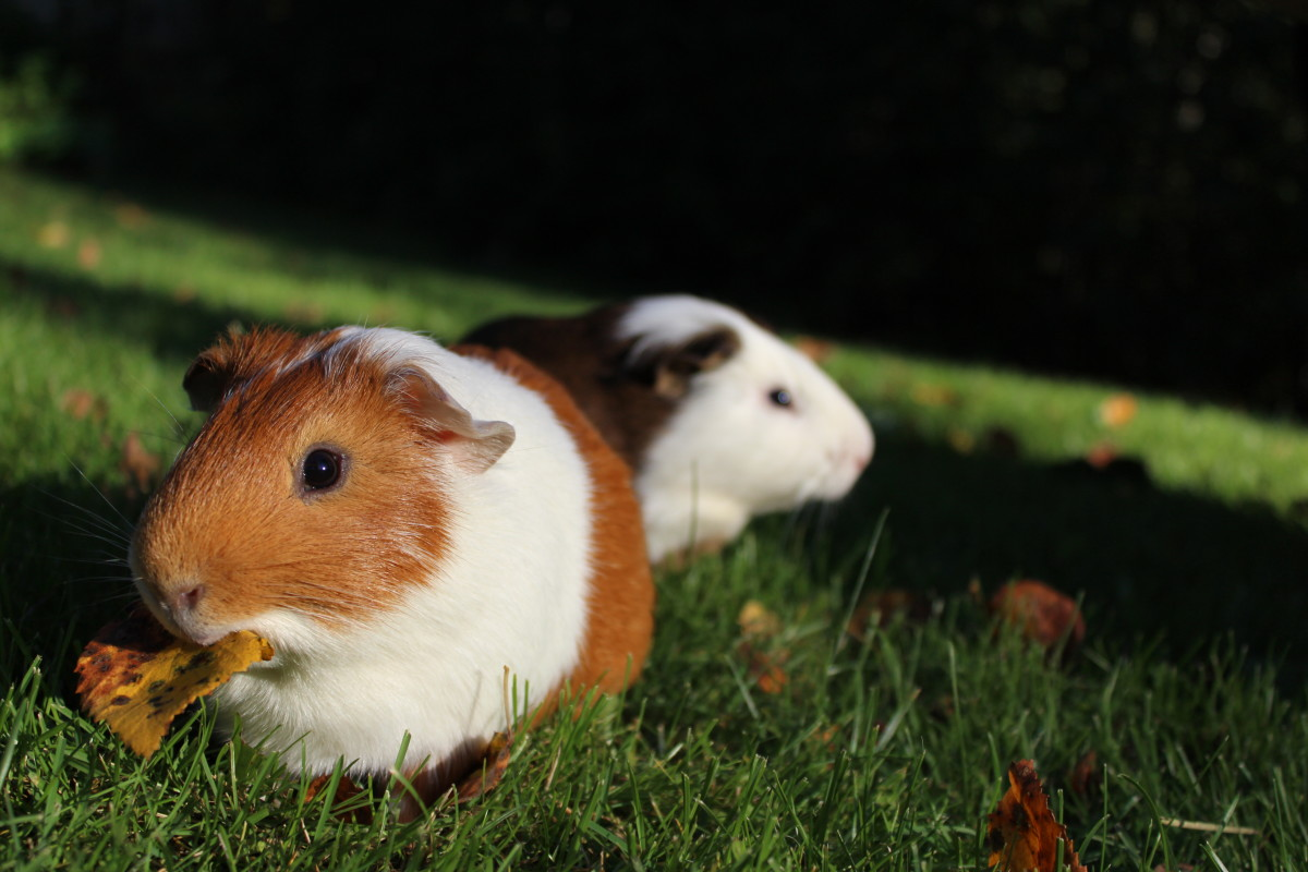 Since they are such social creatures, it's often best to own at least two guinea pigs at a time so that they always have someone to hang out with.