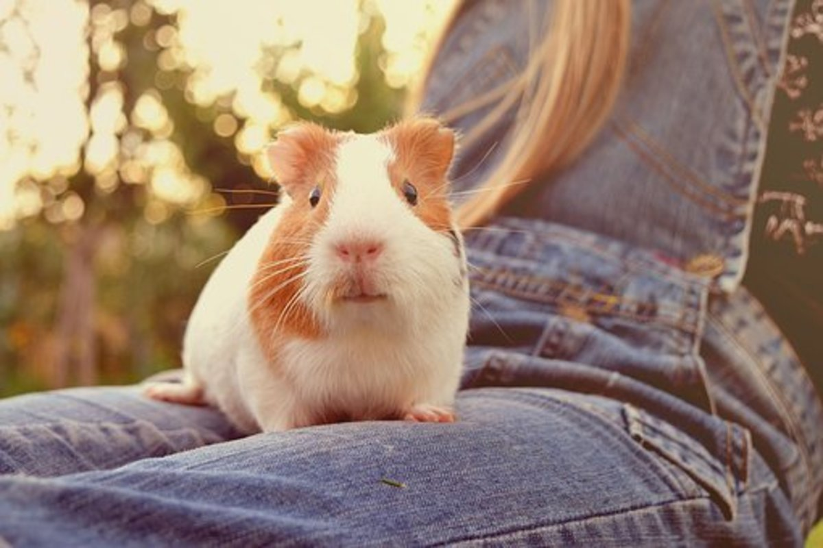 The loyal and affectionate Guinea Pig is easy to fall in love with.