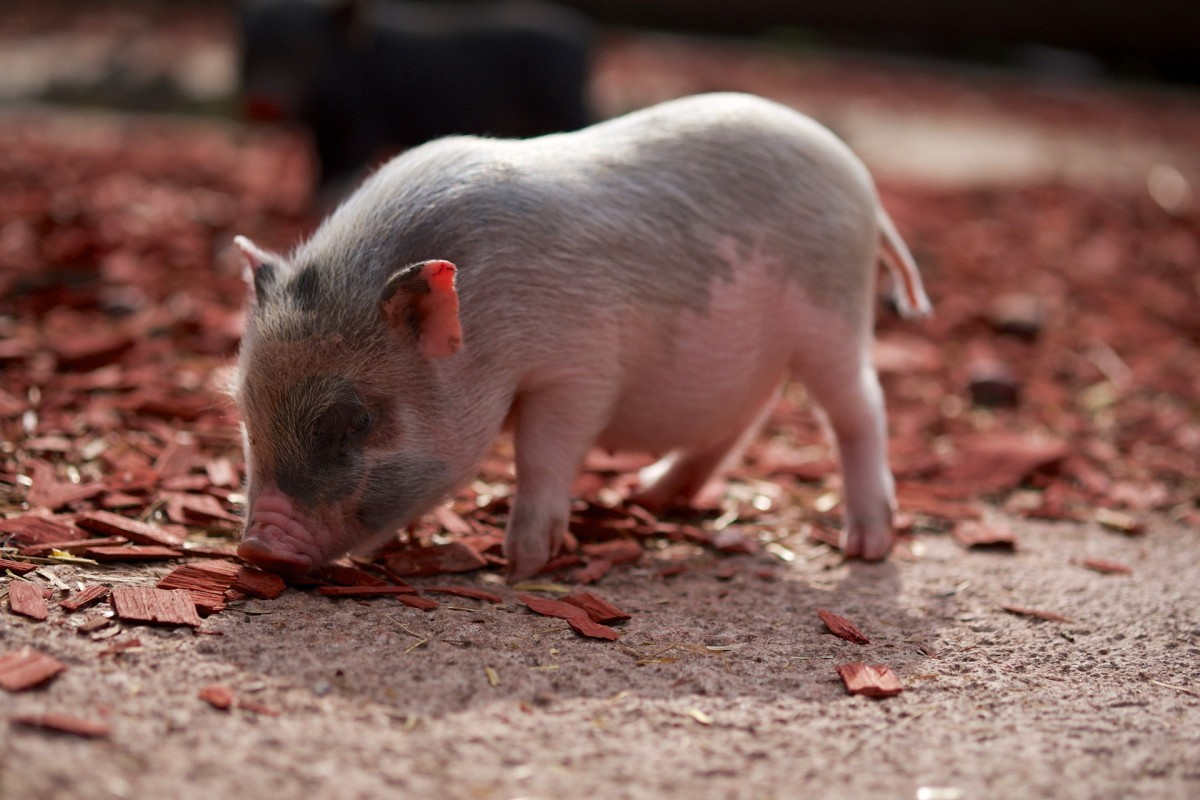 Especially when they're piglets, pot-bellied pigs can be wonderfully cute and playful.