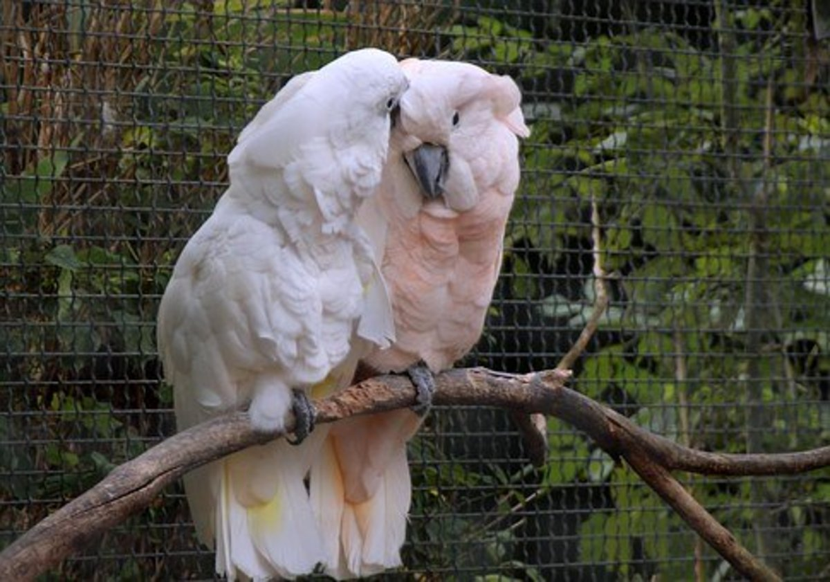 Cockatoos are very affectionate pet birds.