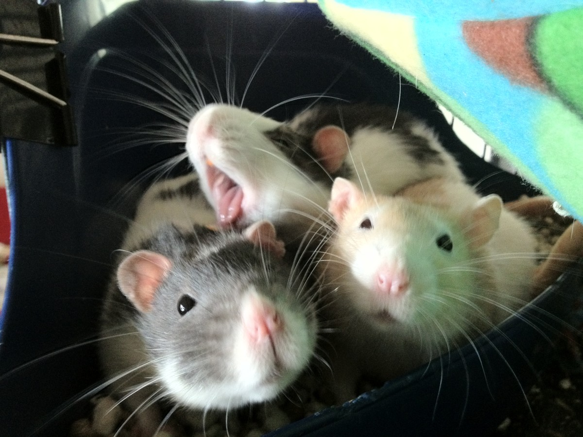 Fancy rats are highly playful and enjoy solving puzzles.
