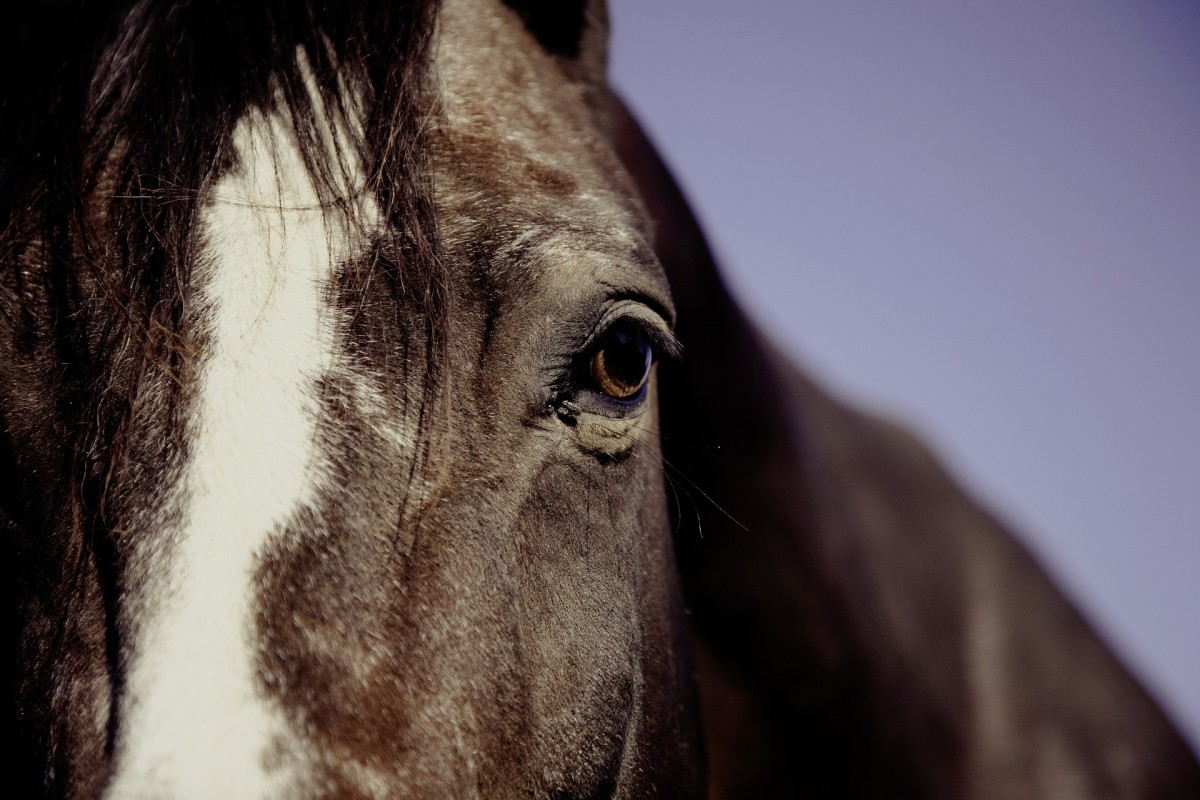 Horses are highly empathetic creatures that are quite adept at attuning themselves to the emotions of humans around them.