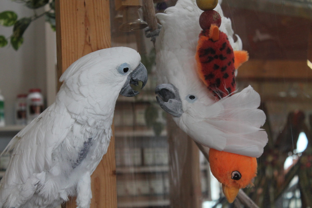 Due to their very social nature and emotional neediness, it's often best to get two cockatoos at a time to avoid them becoming too lonely while you're away.