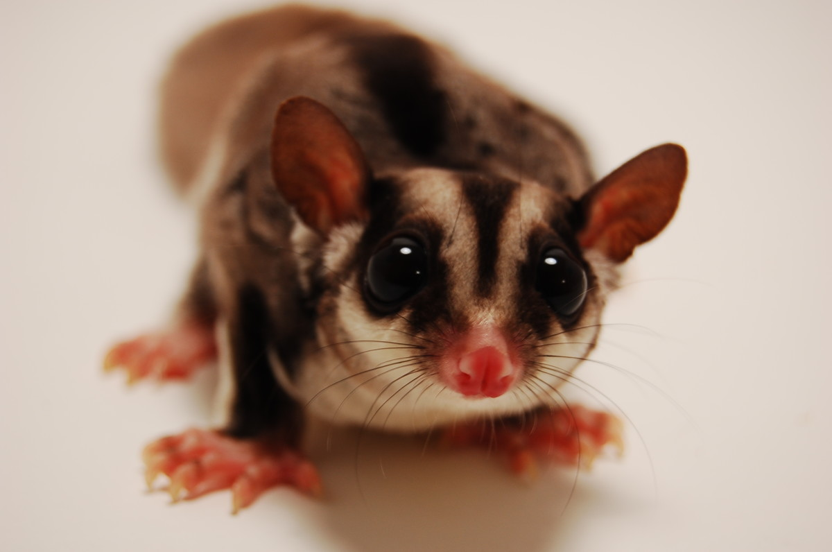 It's important to make sure sugar gliders have lots of room in their cage to play around and are at least occasionally allowed to freely glide around a home.
