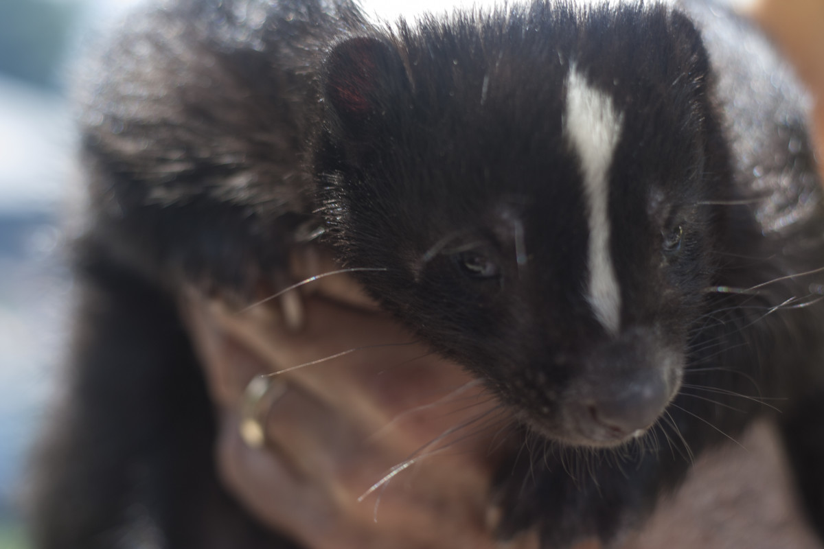As many skunk owners can attest, this much-maligned animal can become just as loving and intelligent and playful as any dog or cat.