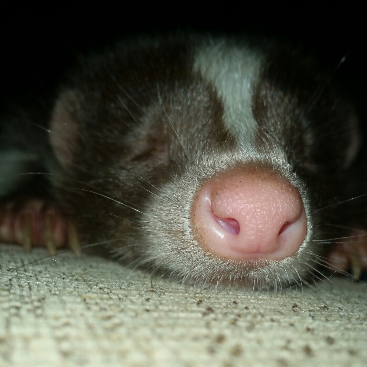 Much like dogs and cats, skunks can become quite fond of snuggling up with their owners.