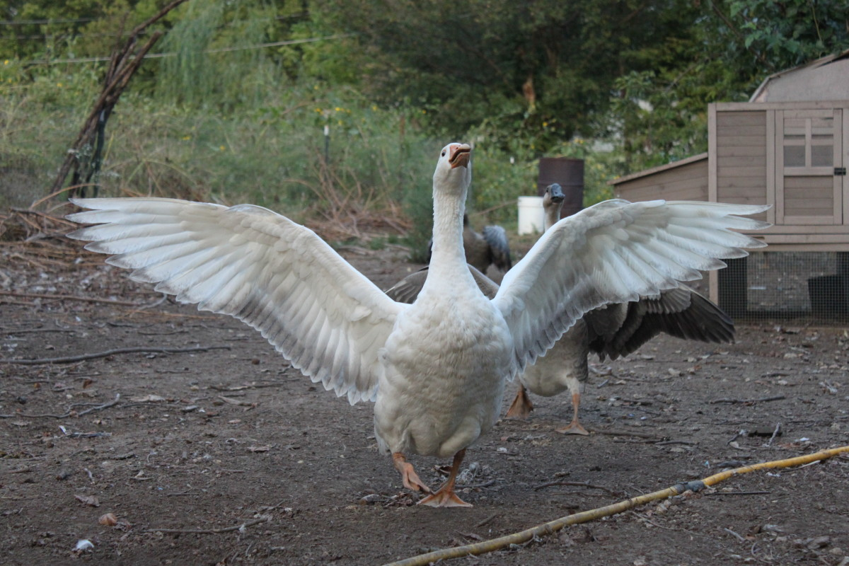 Geese, like chickens, can be put to work in a variety of situations.