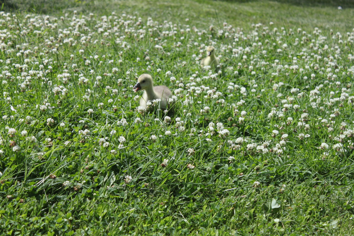 Goslings who imprint on you will follow you anywhere, even if it means braving a jungle of clover to do it.