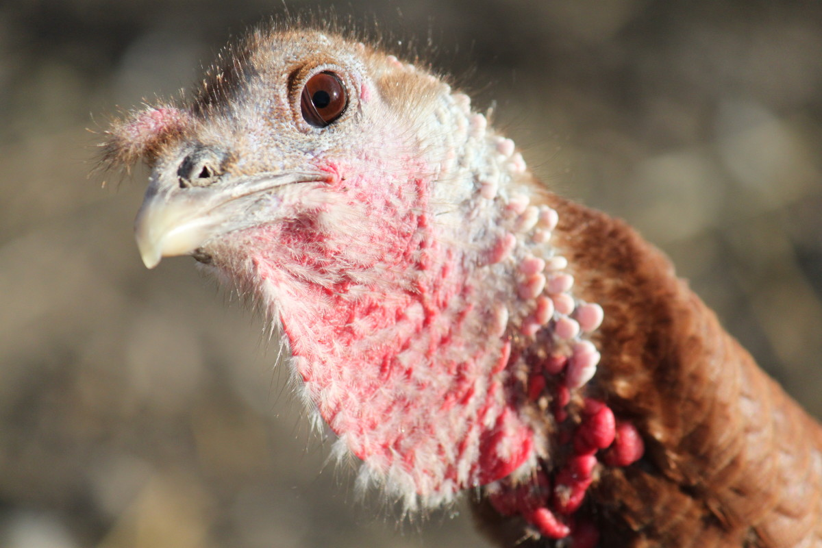 Fact: Turkeys have mind control powers, but they only use them for good.
