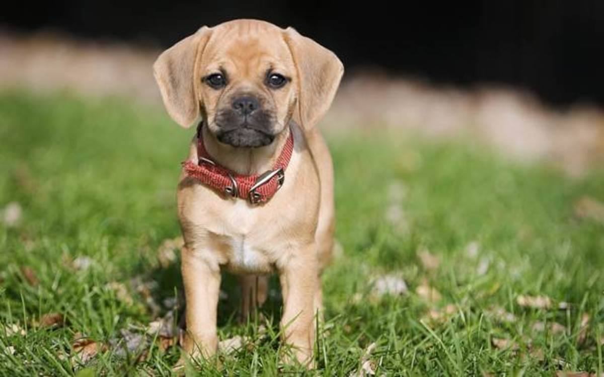 Puggles are just too cute!