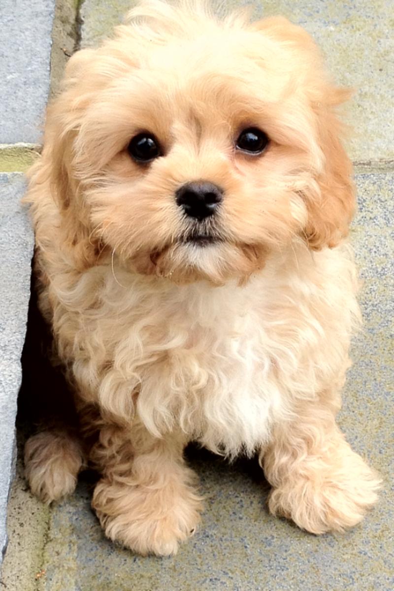 Maltese terrier poodle mix