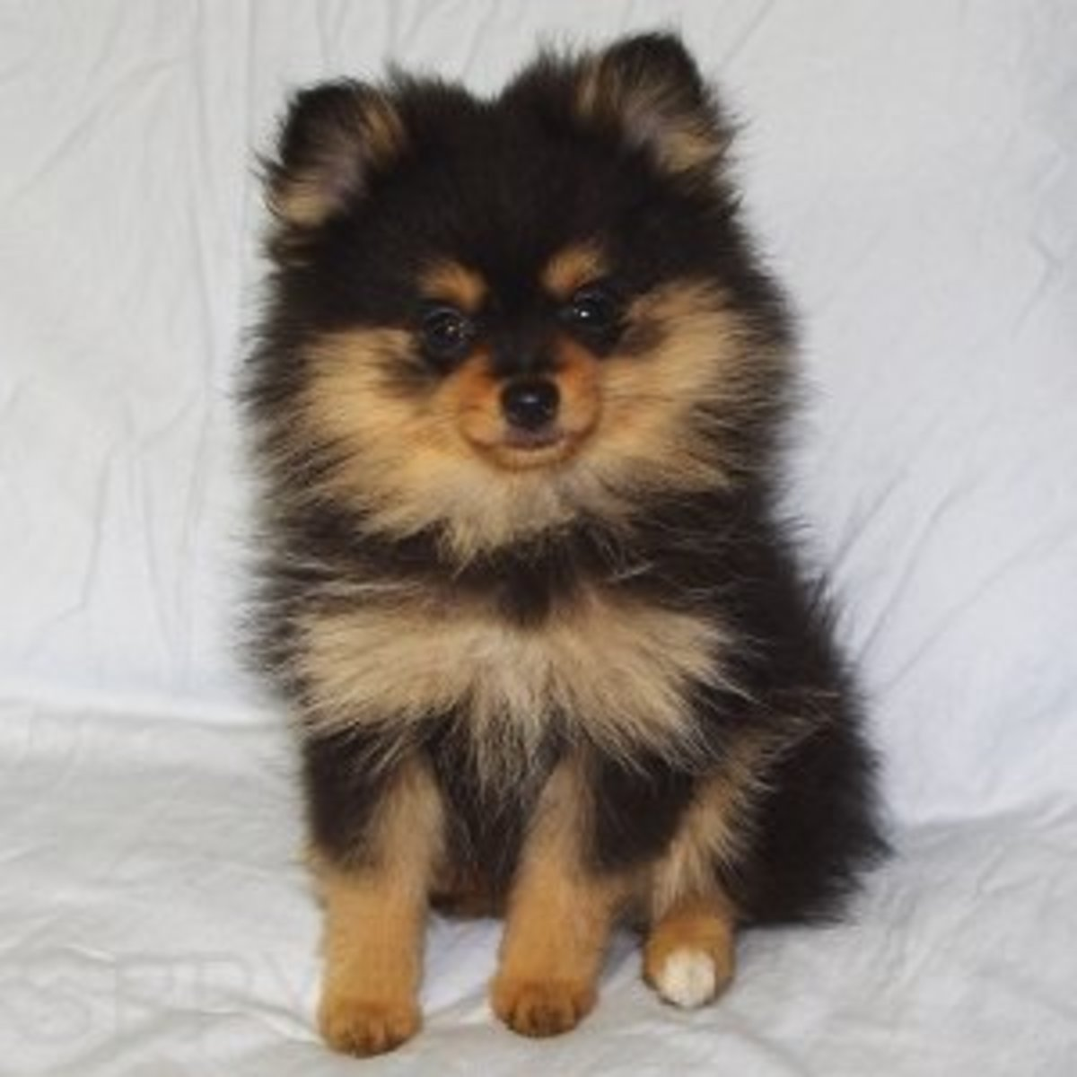Pomchis are as sweet as they are stubborn.