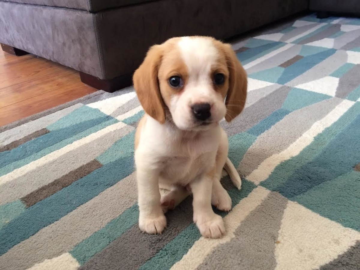 How could anyone say no to this Beaglier puppy?