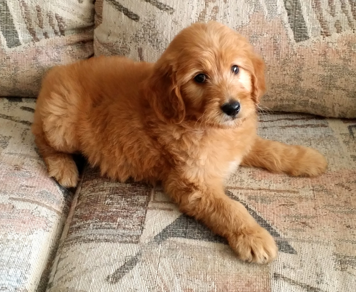 Can you imagine anything cuter than a Goldendoodle puppy?