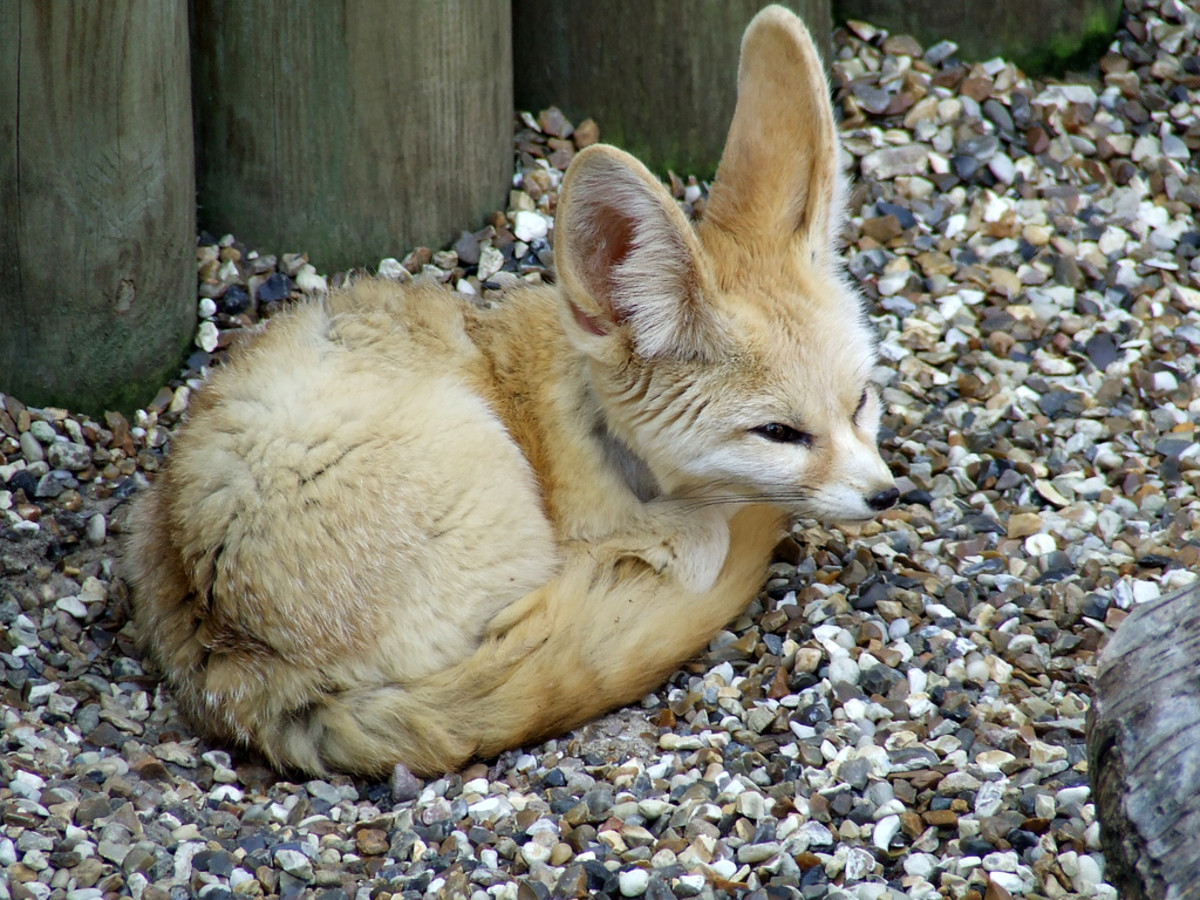 Fennec Foxes Are Legal Pets in New York State